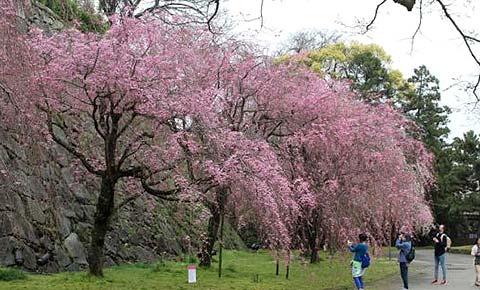 枝垂れ桜エリア