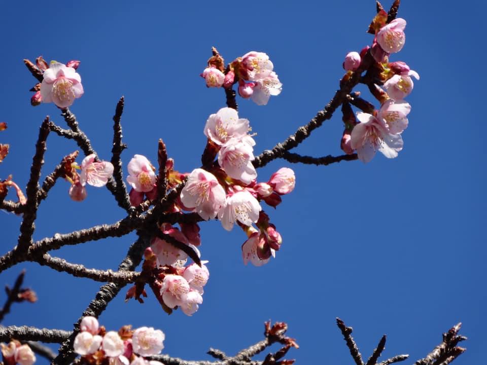 【3/21開花情報:開花】