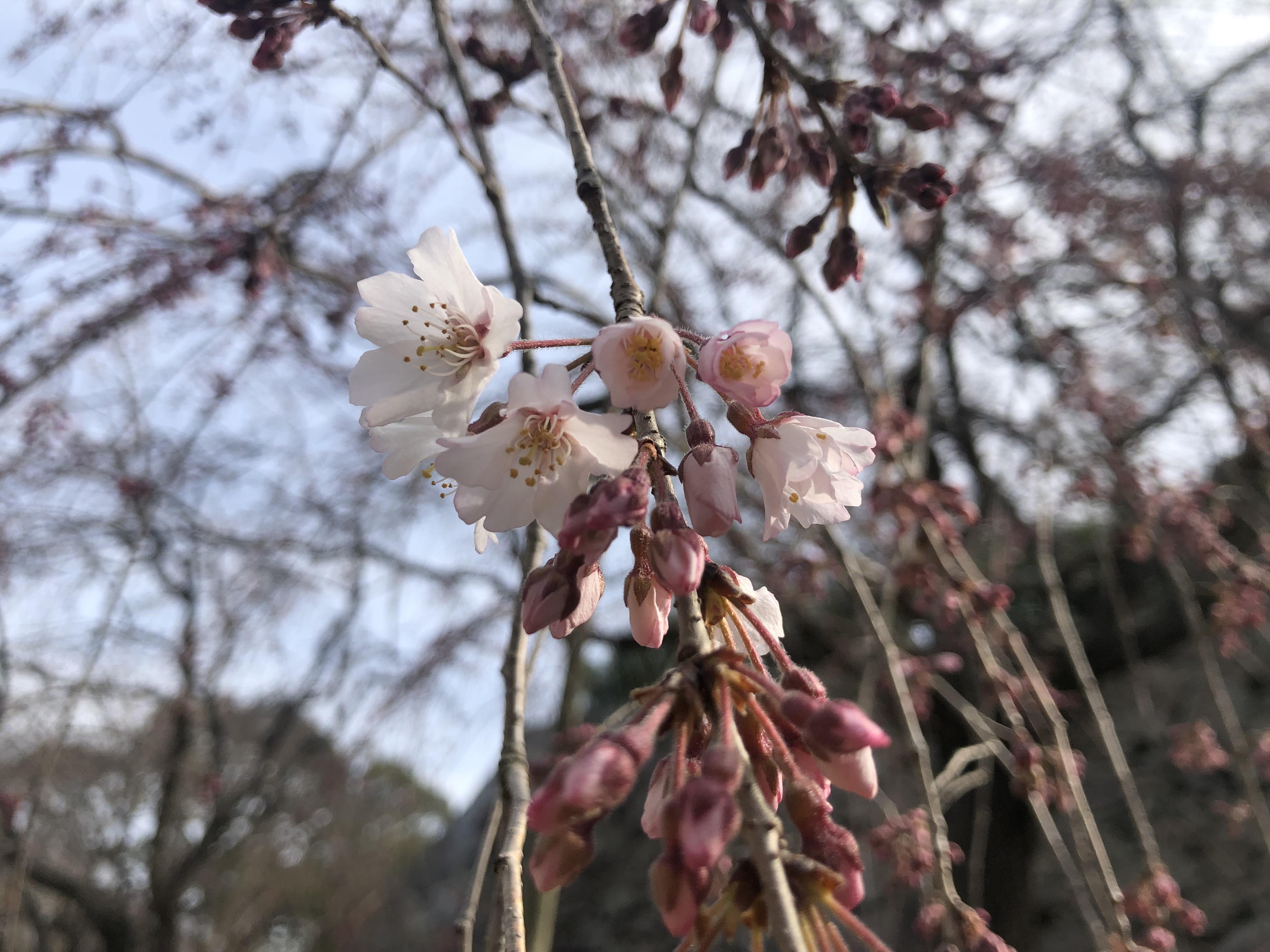 【3/18開花情報:つぼみ】