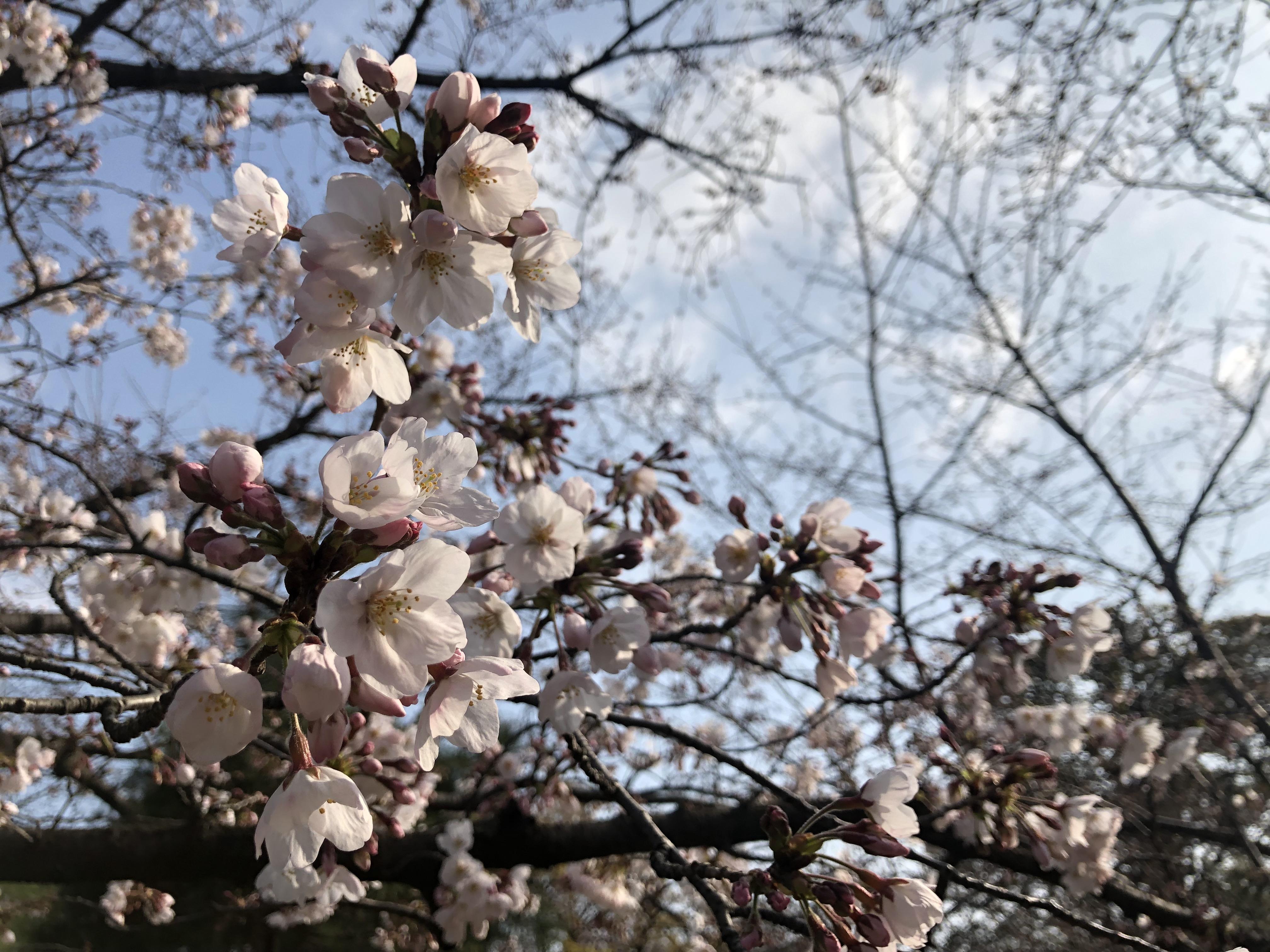 【3/27開花情報:咲き始め】