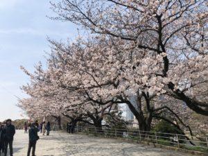 【3/28開花情報:五分咲き】